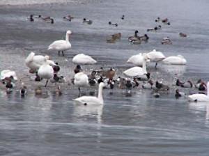 長野の温泉 松本浅間ホテル玉の湯(玉之湯)白鳥の飛来地 安曇野市豊科の犀川ダム湖