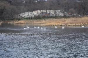 安曇野の犀川ダム湖に今年も白鳥が羽をやすめています。