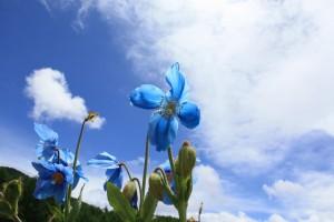 南アルプスに咲くヒマラヤの青いケシの花