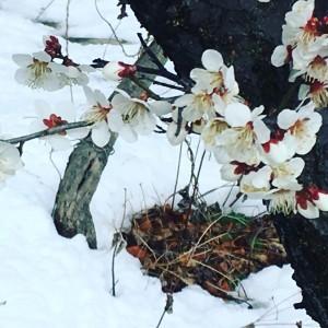 満開の梅と積もった雪