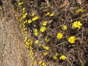 春の訪れ福寿草