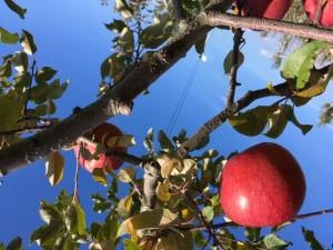 りんごの季節