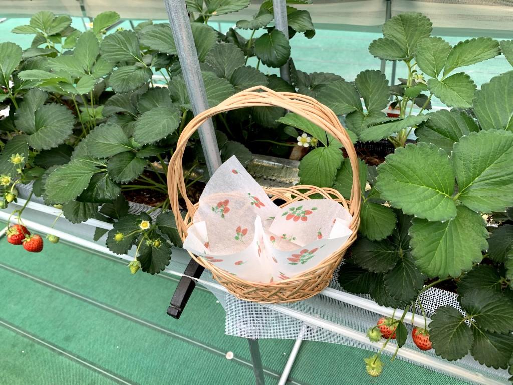 いちごの摘み採り 6月の平日は15%引きです!!